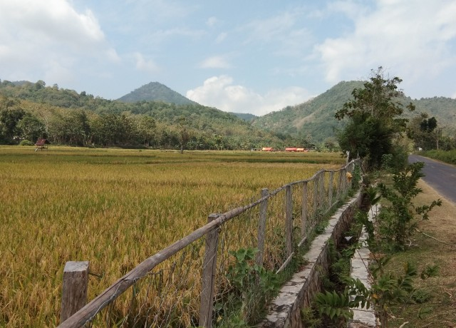 rice field near road