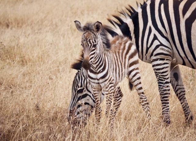zebra on grass field