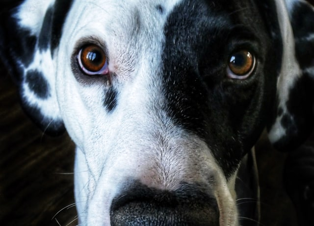 short-coat black and white dog