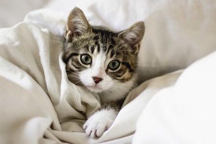 Cat lying in bed