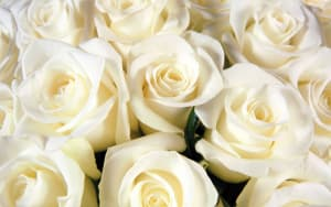 white-rose-1_a0658e5c3361590fc028f7ea55c34dea