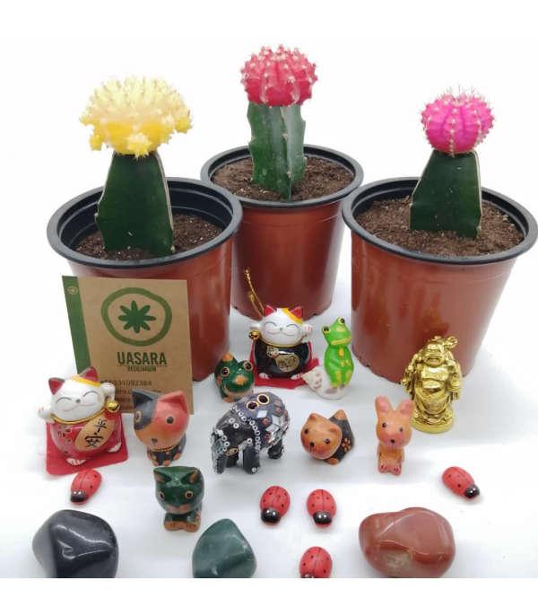 Cactus injerto de color
