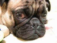 chien triste