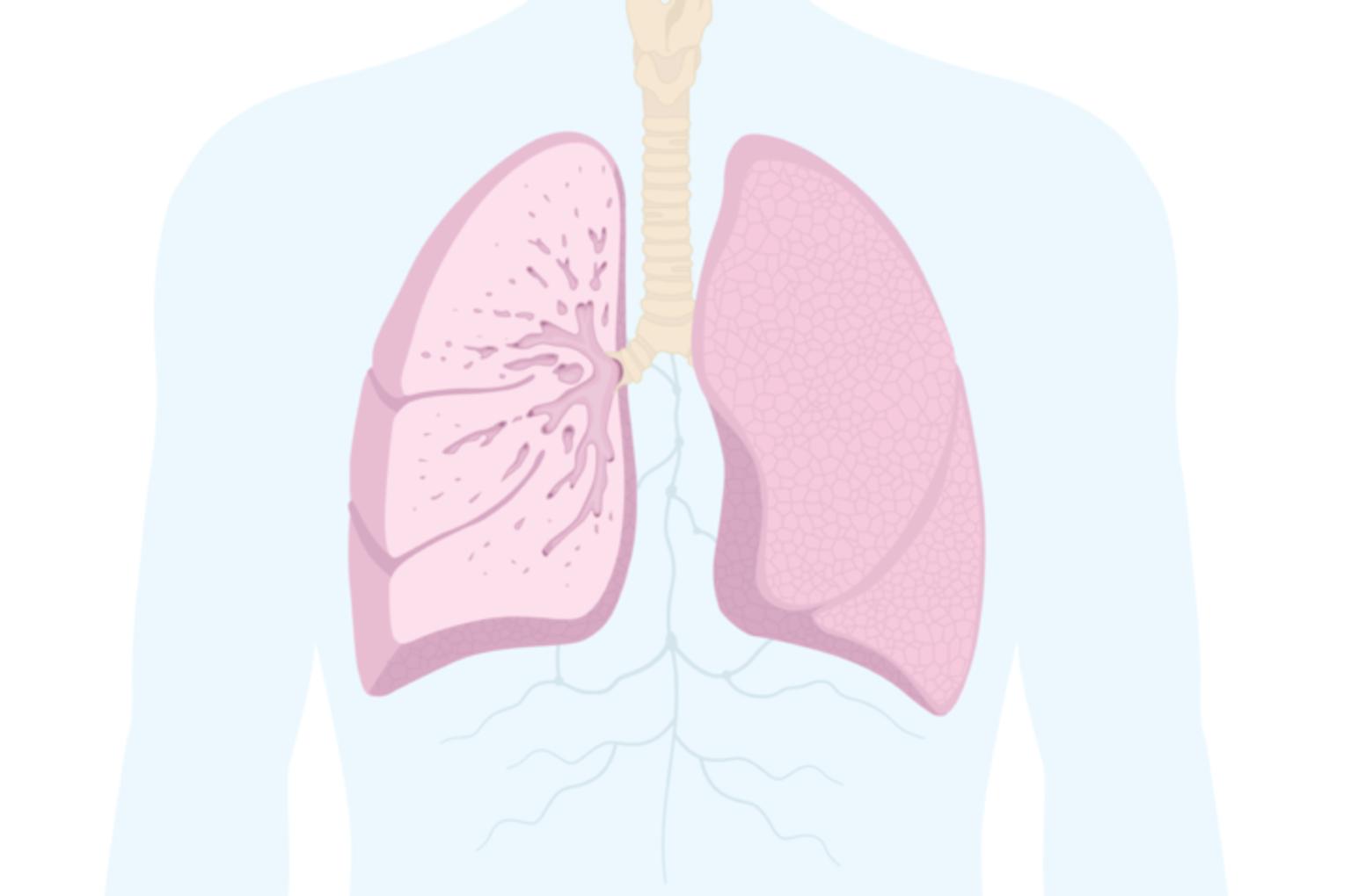 Illustration av lungorna och var det sitter på kroppen.