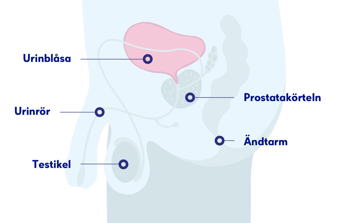 hur länge kan man gå med urinvägsinfektion