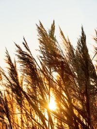 Sunlight through wheat field   Cannaray CBD