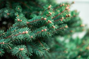 pine tree spruce