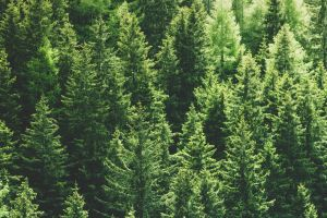 Pine Trees Terpenes