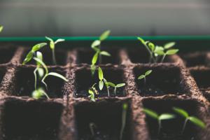 Cannabis seedlings for CBD
