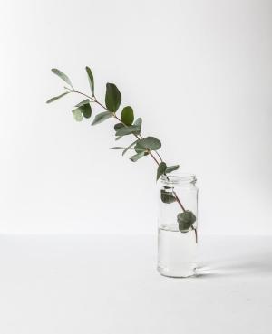 Eucalyptus in Jar