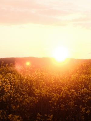 Sun over field   Cannaray CBD UK