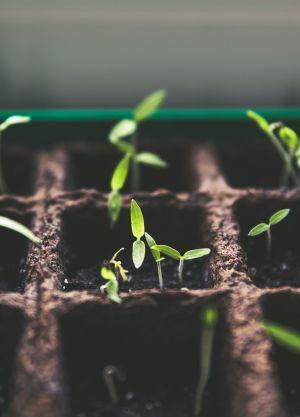 CBD seedlings