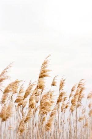 Wheat Field | Cannaray CBD