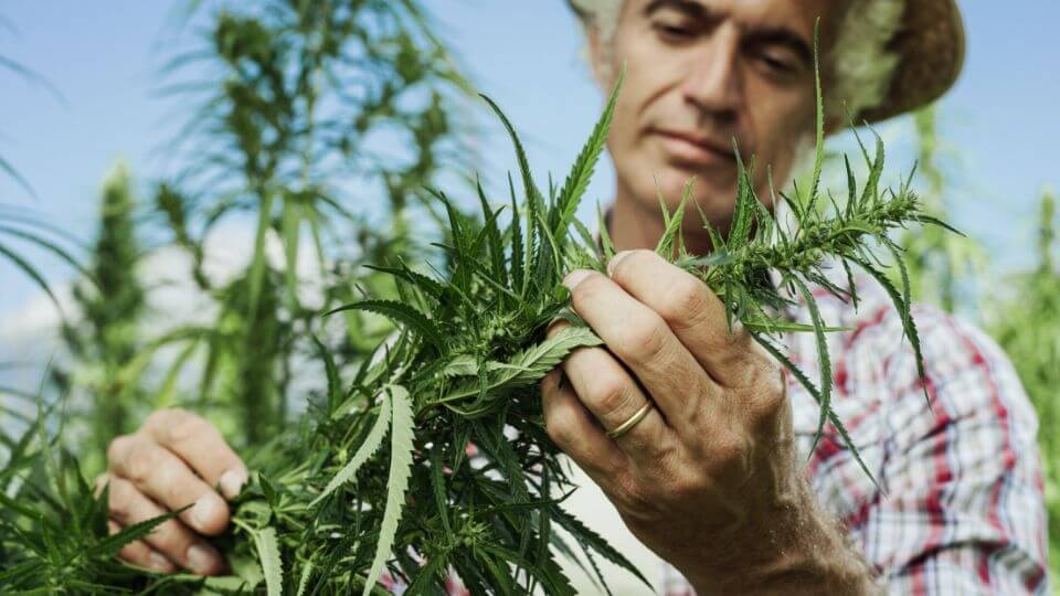 A hemp farmer checks a hemp plant that he can legally grow under the 2018 Farm Bill