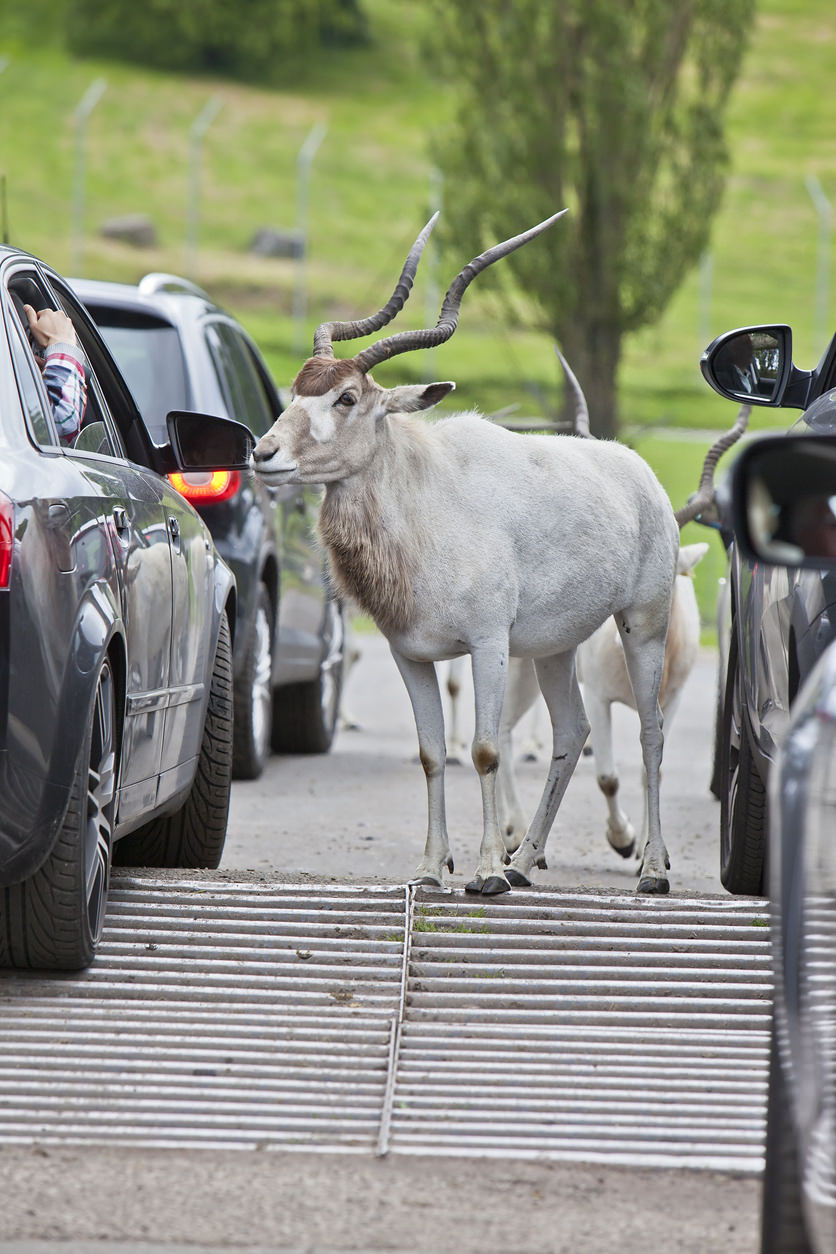 image of a goat standing between cars at a drive through zoo