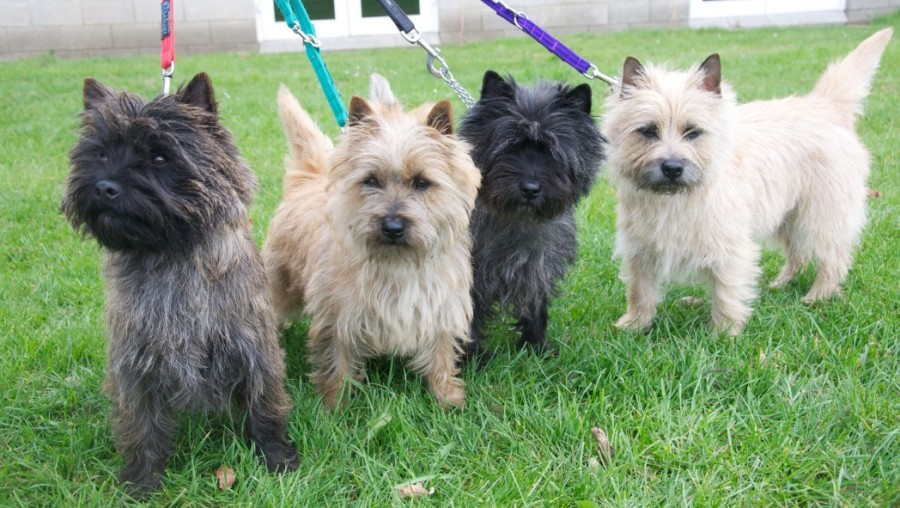 Carradine Cairns - professional breeding & grooming of Cairn Terriers