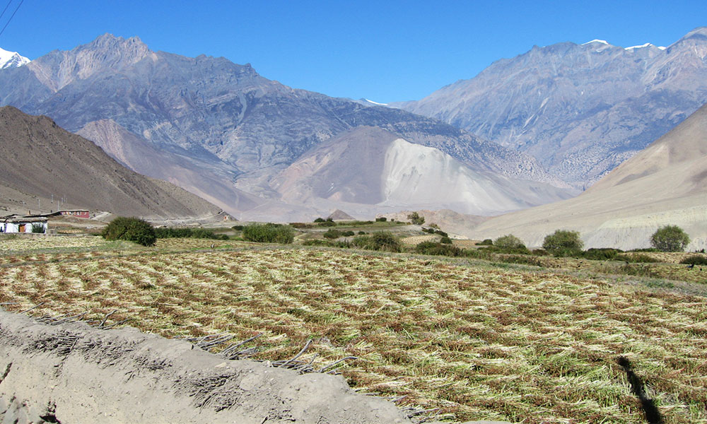 Buckwheat harvesting at Muktinath