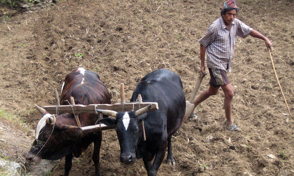 Farmer plowing his field - On the way to Tikhedhunga