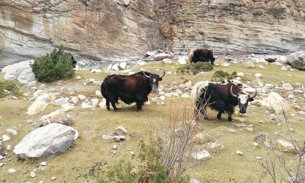 Mountain Yaks
