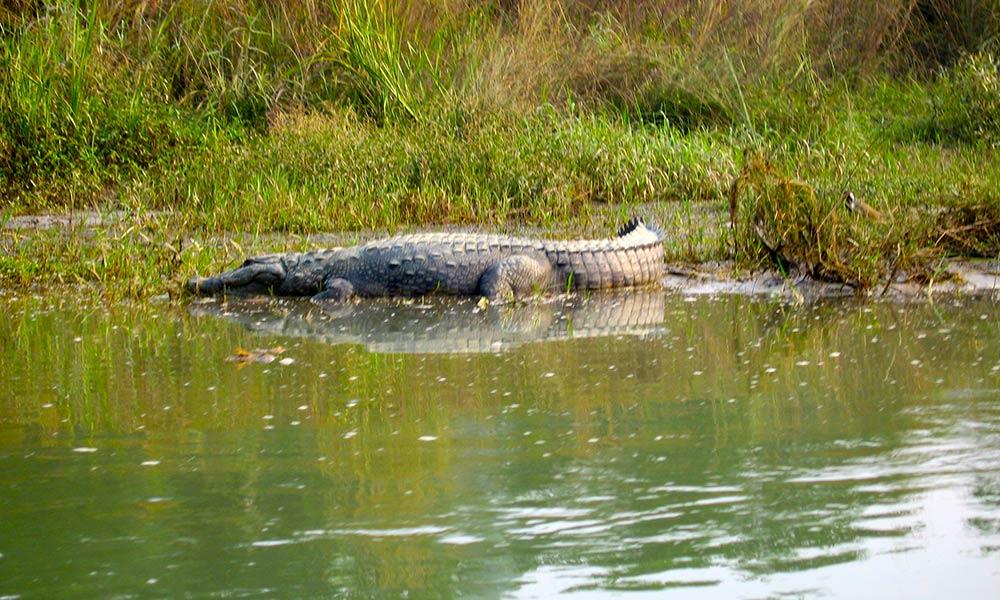 Crocodile at Chitwan National Park