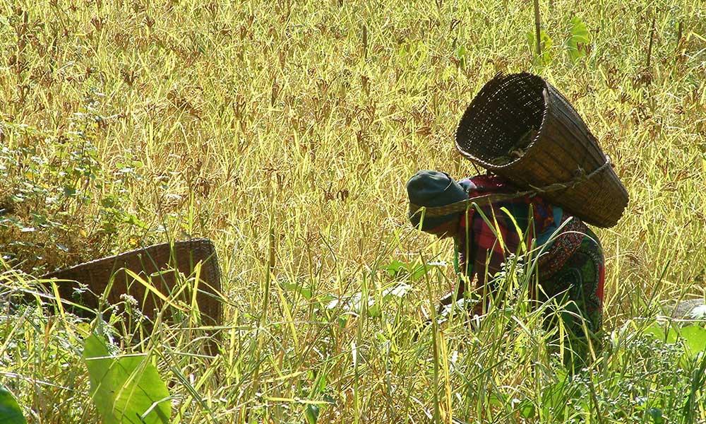 Harvesting Kodo Millet