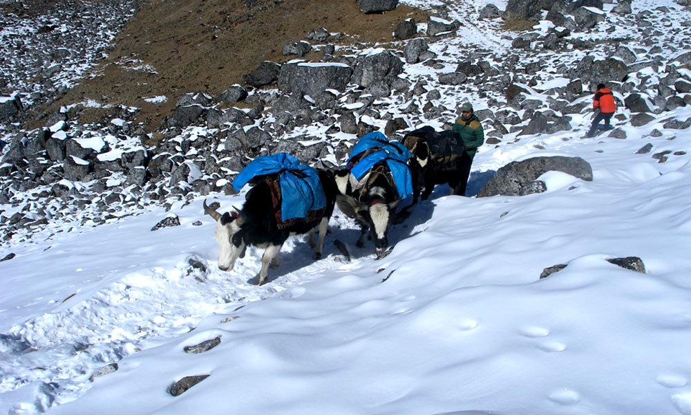 Yaks on the ascent of Shyala La