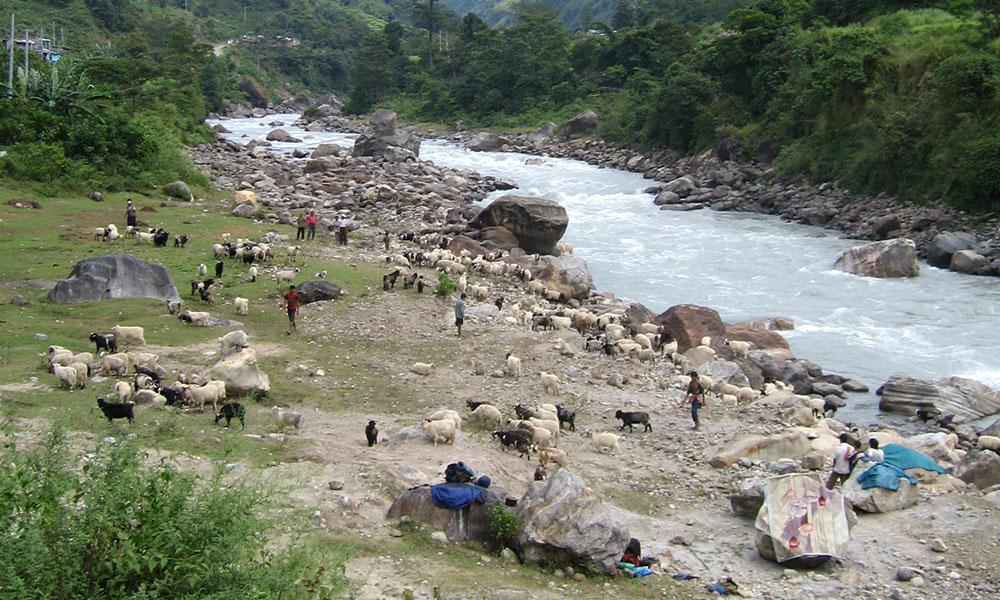 Shepherd boys grazing sheep on the bank of Marshyangdi river
