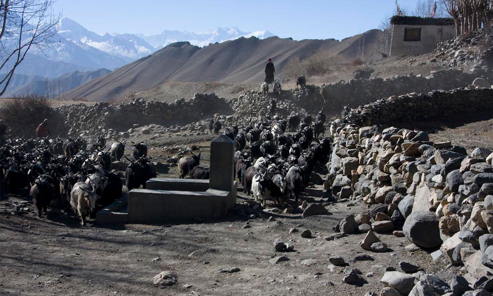 Chyangra - the mountain goat