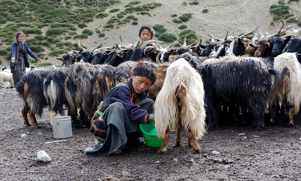Chyangra, mountain goat