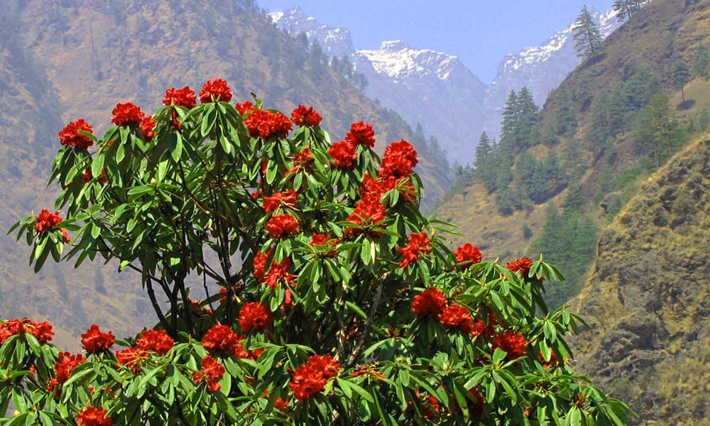 Rhododendron - the national flower of Nepal