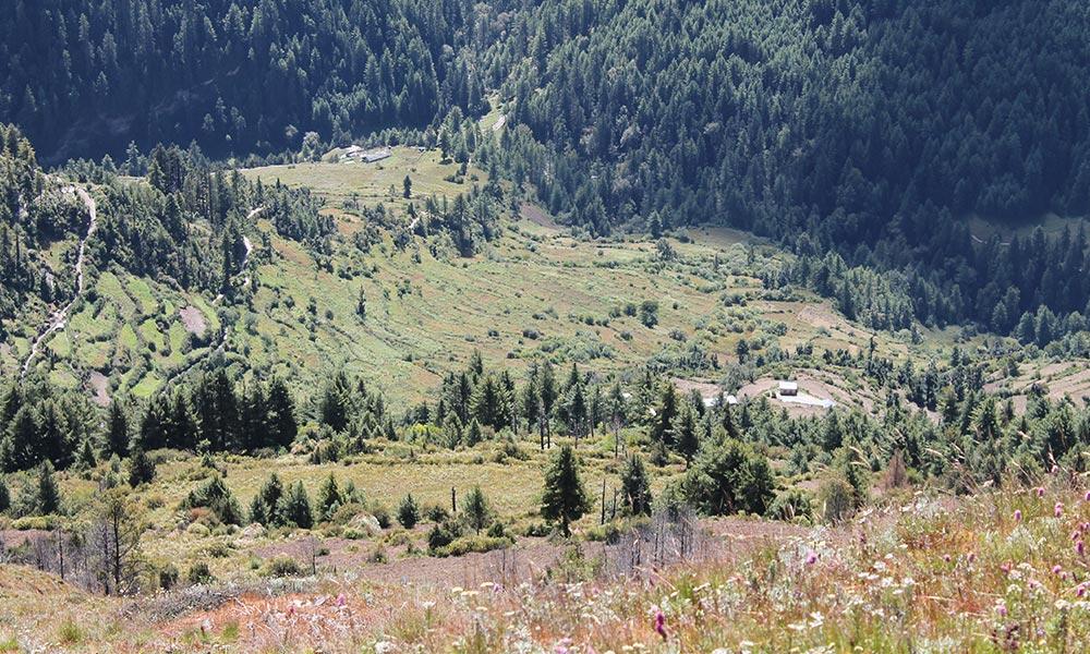 Alpine Trees