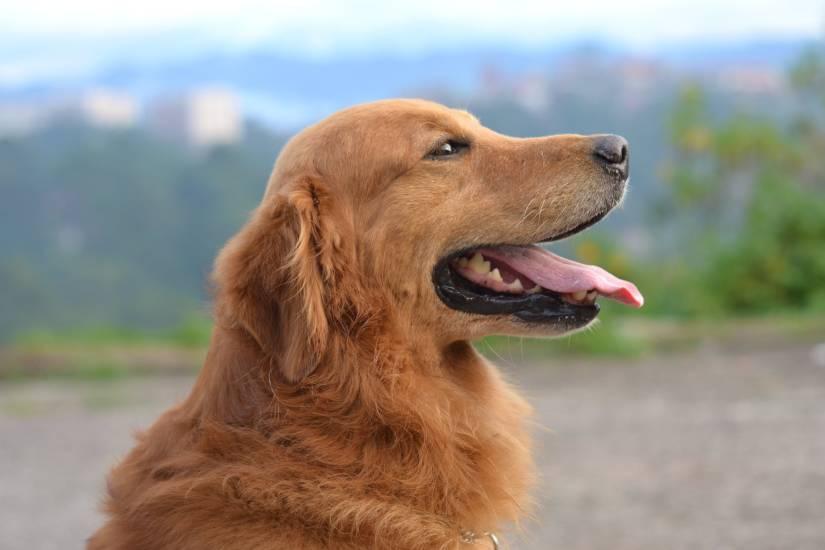 Her er de mest børnevenlige hunderacer
