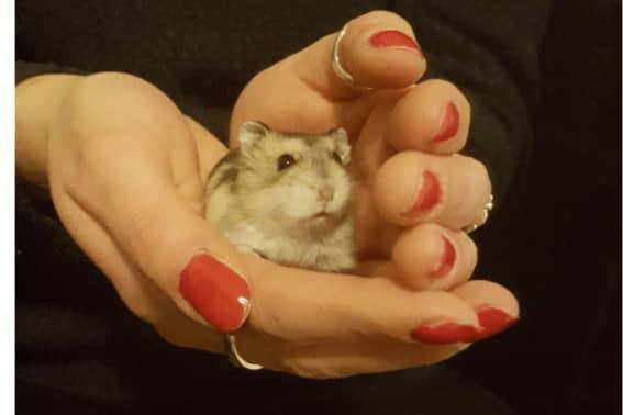 Hvilken hamster skal man vælge? Få gode råd her