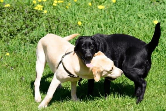 Labrador Retriever - Lær Den populære familiehund at kende