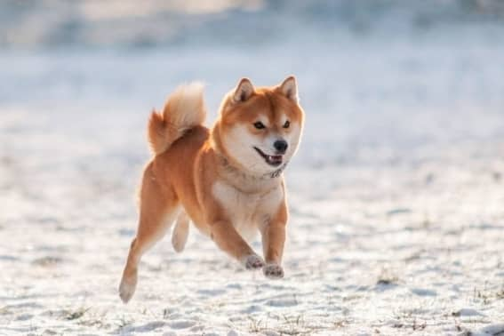 Shiba Inu: Læs om den lille hund her