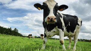 New Zealand dairy