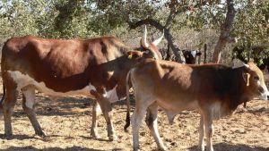 Namibia cows