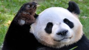 Calgary pandas