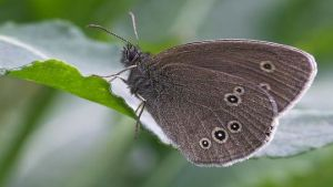 Denmark butterflies