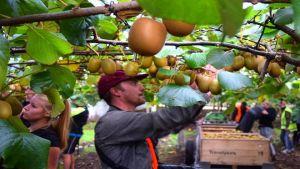New Zealand kiwifruit workers