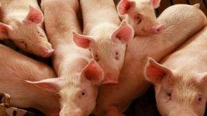 Swine fever outbreak