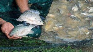 Ghana fish