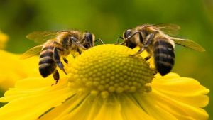 pollinating insects