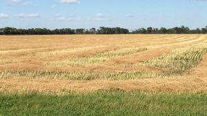 Crops across Saskatchewan
