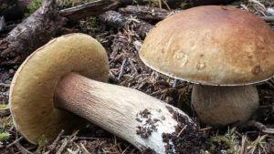 Ukraine exports 50 times more mushrooms