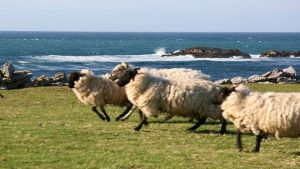 Ireland sheep