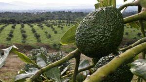 Michoacan avocados