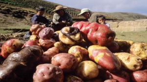 Peru potato crop