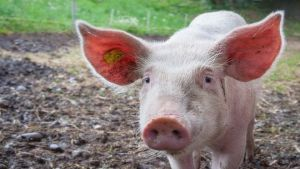 African swine fever outbreak