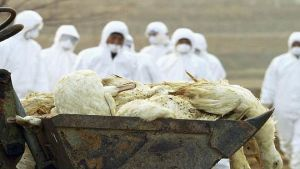 South Korea duck farm